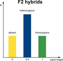 AFLP marker distribution in F2 hybrids