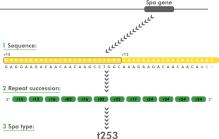 spa typing of Staphylococcus aureus